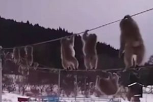 VIDEO: Macacos usan cables telefónicos para evitar la nieve
