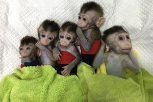 Clonan con éxito cinco monos en China