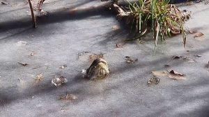 Caimanes se congelan en pantano de Carolina del Norte