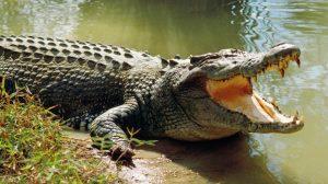Hombre lucha contra un cocodrilo para salvar a su hijo