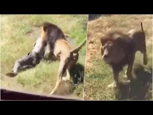 Dos leones desgarran a un hombre frente a turistas en la India