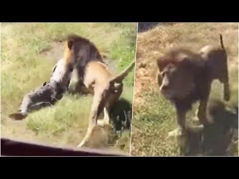 Resultado de imagen para Dos leones desgarran a un hombre frente a turistas en la India
