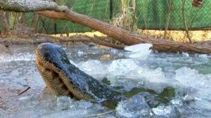 VIDEO: La táctica de un cocodrilo para sobrevivir en aguas congeladas