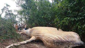 Hallan ballena jorobada muerta en el Amazonas