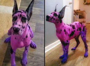 Mujer es criticada por pintar a su perro de rosa y morado