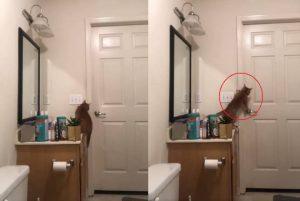 Se viraliza la manera en que un gato consigue escapar del baño