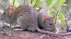 Esta es la isla repleta de ratas que devoran búhos y aves marinas