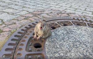 Por gorda, rata queda atrapada en alcantarilla; bomberos la rescatan