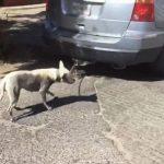 Captan a automovilista que conduce con perro amarrado a su auto