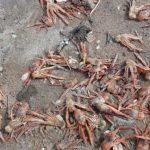 Miles de langostillas muertas cubren playa de San Juan, Sinaloa