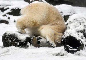 Osos polares se hicieron virales al buscar comida en un camión de basura (video)