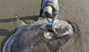 Encuentran enorme y extraño pez en California