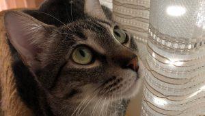 Mujer realiza cirugía plástica a su gato porque tenía los ojos feos