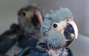Nace un guacamayo azul, especie declarada extinta