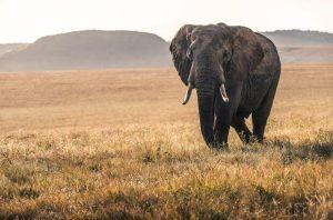 Mata elefante a cazador furtivo y leones se comen sus restos