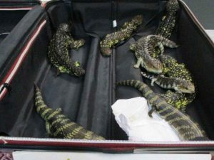 La detienen en el aeropuerto; llevaba 19 reptiles en la maleta