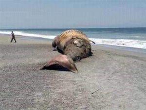 Aparece ballena muerta en playa 'La Tuza' de Oaxaca