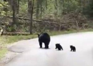 Osa detiene el tráfico para dejar que sus crías crucen la calle