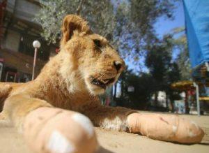 Mutilan leona para que juegue con visitantes de zoológico