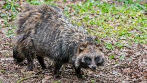 Lanzan alerta por presencia de perros mapaches