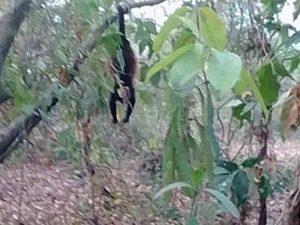 Mueren monos aulladores por sequía en sur de Veracruz