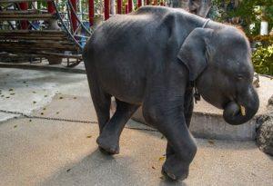 Muere elefante tras ser forzado a bailar en un zoológico