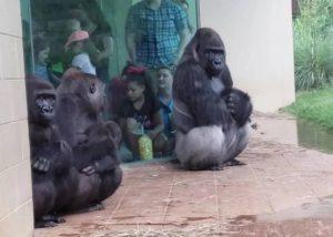 Gorilas huyen de la lluvia en zoológico