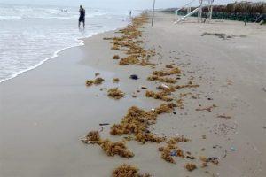 Llega sargazo a Playa Miramar