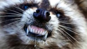 ¡ALERTA!'mapaches zombis' en EU