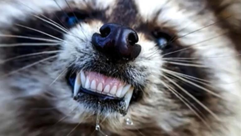 ¡No es broma! Alertan por la presencia de mapaches 'zombie'