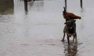 Perro rescata a gallina de inundación llevándola en su lomo