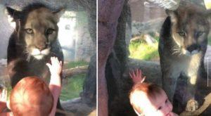 VIDEO: Escalofriante encuentro entre un puma y un bebé