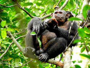 Descubren que chimpancés salvajes comen tortugas