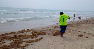 Retiran dos toneladas de sargazo en Playa Miramar; seguirá llegando