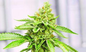 Aprueban cultivar cáñamo de cannabis