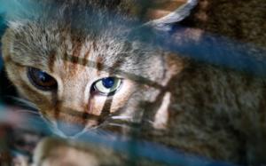 VIDEO: Descubren nueva especie de felino en Francia