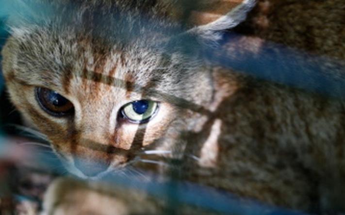 Descubren en Córcega un nuevo felino: El