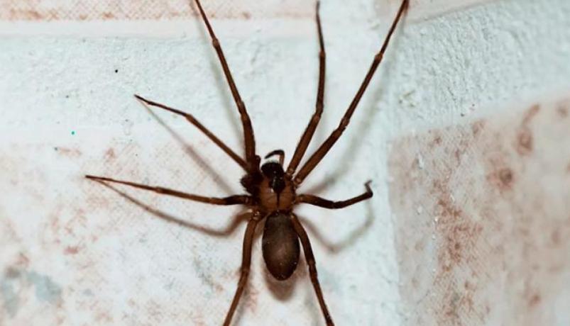 Ya se encuentra a la venta el antiveneno para la mordedura de araña violinista