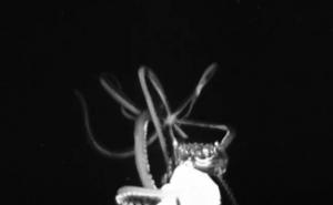 Graban a un calamar gigante al merodear en el Golfo de México