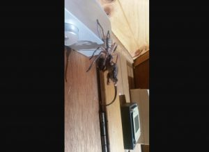 ¡DE TERROR! Captan enorme araña devorando una zarigüeya