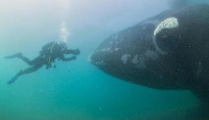 VIDEO: Graban el canto de una ballena franca por primera vez en la historia