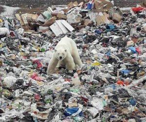 Avistan oso polar hambriento en basurero ruso