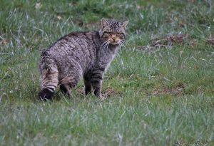 Avistan gato montés o un puma con crías en parque de Laredo