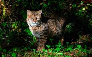 [Actualización] Emiten alerta por gato montés en Laredo