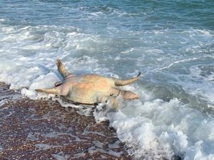 Tortuga, lobo marino y peces muertos tras derrame tóxico de Grupo México