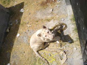 Encuentran tigre blanco en patio de Iglesia, en Matamoros