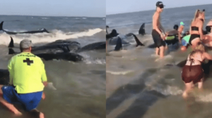 Turistas ayudan a ballenas varadas a regresar al mar