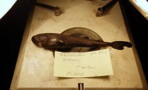 Hallan nueva especie de tiburón en el Golfo de México