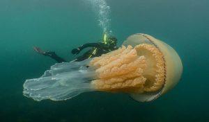 VIDEO: Captan gigantezca medusa en Inglaterra