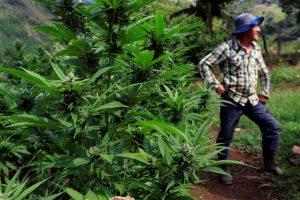 Marihuana, la droga más consumida: 192 millones de usuarios en el mundo